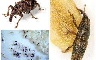 Gorgulho do arroz - uma praga maliciosa de cereais