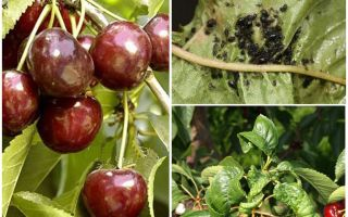 Como se livrar de pulgões em cerejas e cerejas