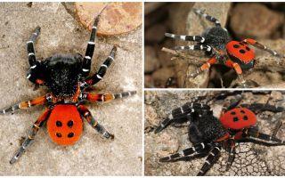 Descrição e fotos de aranhas na Crimeia