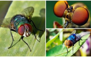 Quantos quadros por segundo uma mosca vê e quantos olhos ela tem