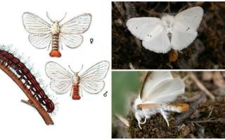 Descrição e foto de borboletas e lagartas