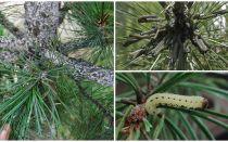 Como e o que processar pinheiros de lagartas