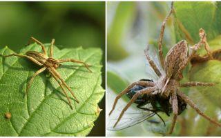 Quantas aranhas comuns vivem em um apartamento e na natureza
