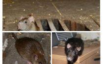 Como pegar um rato na casa