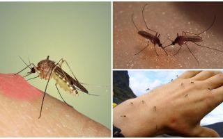 Por que os mosquitos na natureza