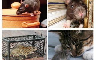 Como se livrar de roedores em uma casa particular