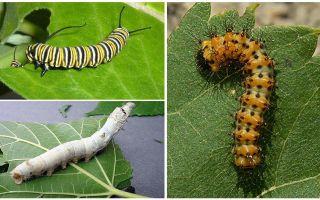 Descrição de lagartas, sua comida e estrutura