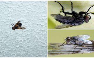 Como uma mosca se senta e se agarra ao teto
