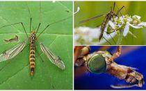 Grandes mosquitos com pernas longas (latas)