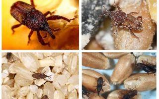 Como lidar com o weevil na cozinha