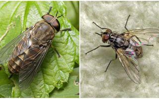 Descrição e foto morde moscas