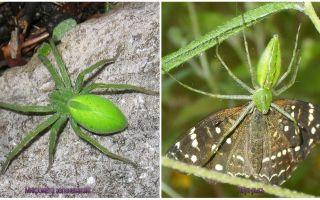 Aranhas Verdes na Rússia