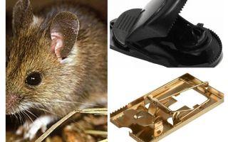 Como colocar uma ratoeira