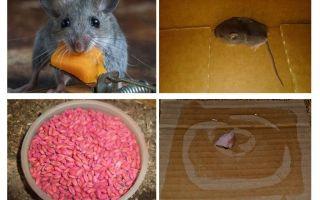 Como tirar os ratos da garagem