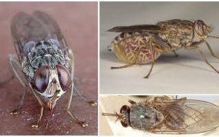 Descrição e foto da mosca tsé-tsé