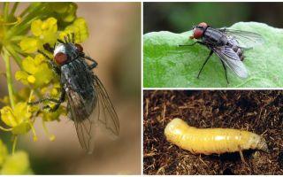 Descrição e foto de uma mosca de carne (mortal)