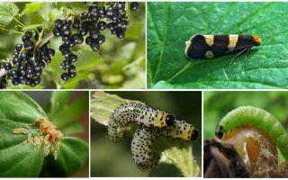 Como se livrar de lagartas em groselhas