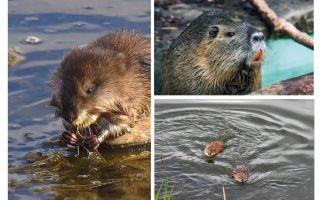 Ratos da água