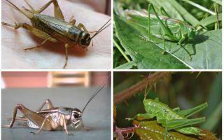 Diferenças cricket e gafanhoto