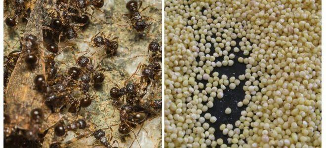 Painço contra formigas no país