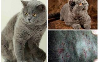 Como obter uma pulga de um gato britânico