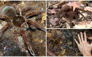 Descrição e foto da aranha pássaro goliath