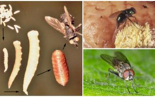 O que acontece se você come ovos ou voa larvas