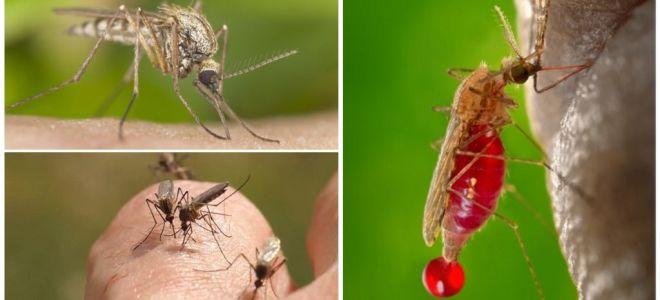 Pessoas com as quais o grupo sanguíneo é mais frequentemente picado por mosquitos