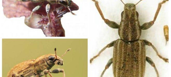 Escaravelho - praga de leguminosas