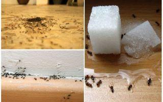 Como remover formigas de um apartamento em casa