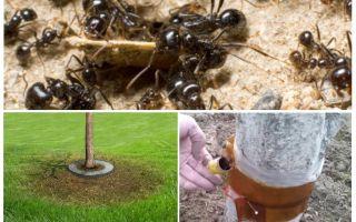 Armadilhas de formigas nas árvores com as próprias mãos