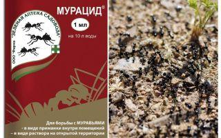 Formigas murácidas