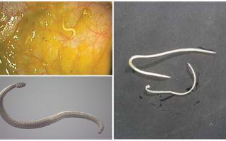 Maneiras de infecção pinworm