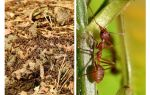 O que é formigas úteis