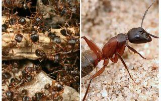 Formigas vermelhas da floresta