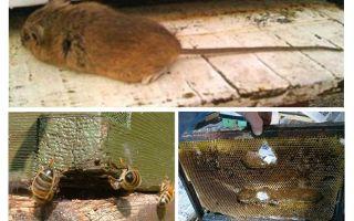 Como tirar um rato da colmeia no inverno e no verão