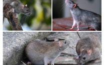 Quantos anos os ratos viveram?