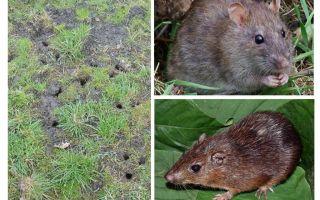 Rato da terra