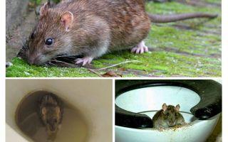 Pode um rato sair do banheiro