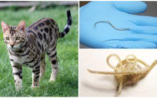 Sintomas e tratamento da ascaridíase em gatos