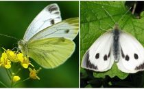 Descrição e fotos de lagartas e borboletas de repolho