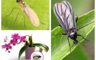 O que fazer se os mosquitos são criados nas orquídeas