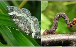 Descrição, nome e foto de vários tipos de lagartas