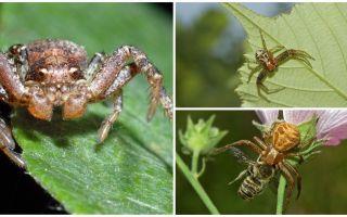Descrição e foto de aranha caranguejo (bokhoda não isométrica)