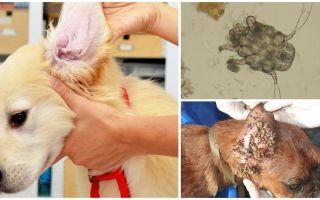 Ear Tick em Cães