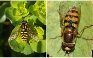 Descrição e foto de uma mosca listrada que se assemelha a uma vespa
