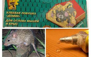 Cola de ratos