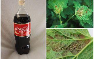 Coca-Cola de pulgão