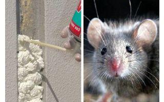 Os ratos comem espuma