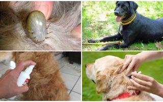 As melhores drogas para cães de carrapatos e pulgas